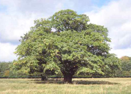picture of an oak tree